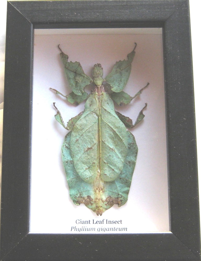 Giant Malaysian Leaf Insect - Insect Wholesalers N.Z.